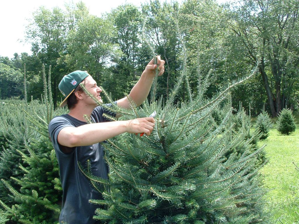 How To Take Care Of A Real Christmas Tree.Tree Care Maine Christmas Tree Association